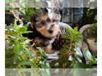 Yorkshire Terrier PUPPY FOR SALE ADN-136196 - Yorkie Pup