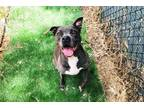 Adopt BROOKLYN a Gray/Blue/Silver/Salt & Pepper Pit Bull Terrier / Mixed dog in