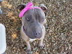 Adopt COCO a Tan/Yellow/Fawn American Pit Bull Terrier / Shar Pei / Mixed dog in