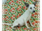 Basenji Mix DOG FOR ADOPTION RGADN-142252 - Havanna - Basenji / Mixed Dog For