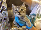 Adopt *WARIO a Gray, Blue or Silver Tabby Domestic Shorthair / Mixed (short