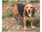 Beagle DOG FOR ADOPTION RGADN-142401 - **FLOWER** MEET JUNE 15TH!