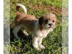 Shih Tzu Mix DOG FOR ADOPTION RGADN-143447 - Pebble - Shih Tzu / Mixed (medium