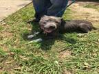 Adopt PAC a Pit Bull Terrier