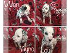 Dalmatian PUPPY FOR SALE ADN-136552 - 4 boys available