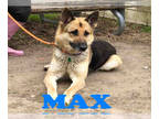German Shepherd Dog Mix DOG FOR ADOPTION RGADN-144265 - MAX - German Shepherd