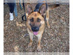 German Shepherd Dog DOG FOR ADOPTION RGADN-144285 - *CANDY - German Shepherd Dog