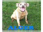 Labrador Retriever Mix DOG FOR ADOPTION RGADN-144408 - ALGER - Labrador