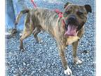 American Pit Bull Terrier DOG FOR ADOPTION RGADN-144421 - Artemis-at the Shelter