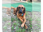 Bloodhound Mix DOG FOR ADOPTION RGADN-144693 - Stella Lynn JB - Bloodhound /