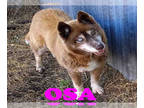 Siberian Husky Mix DOG FOR ADOPTION RGADN-145546 - OSA - Siberian Husky / Mixed