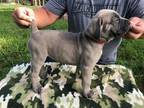 Cane Corso Puppy for sale in West Palm Beach, FL, USA