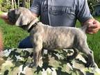Cane Corso Puppy for sale in Tyngsboro, MA, USA