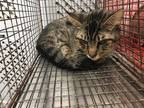 Adopt JAMES a Gray, Blue or Silver Tabby Domestic Shorthair / Mixed (short coat)
