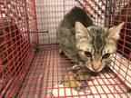 Adopt ANDREW a Gray, Blue or Silver Tabby Domestic Shorthair / Mixed (short