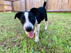 Adopt Cookie a Black Australian Shepherd / Australian Cattle Dog / Mixed dog in