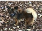 Adopt Zoey a Brown/Chocolate - with Black Papillon / Mixed dog in Phillips