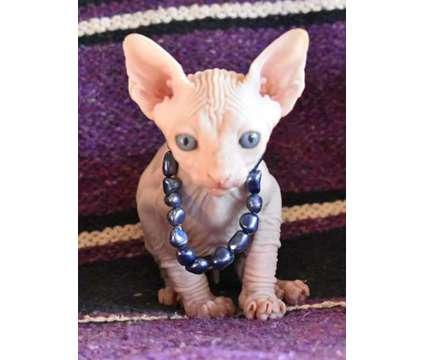 Male blue van Sphynx kitten is a Blue Male Sphynx Kitten For Sale in Corning CA