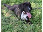 Adopt Nola a Brindle - with White Mastiff / Great Dane / Mixed dog in Compton