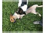 Dachshund-Red Heeler Mix DOG FOR ADOPTION RGADN-146989 - Leia UCHS in MS -