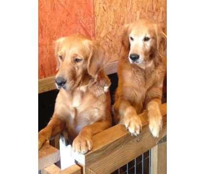 Golden Retriever Pups is a Female Golden Retriever Puppy For Sale in Townville SC