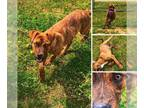 Boxer Mix DOG FOR ADOPTION RGADN-148862 - Brady - Boxer / Hound / Mixed (short