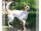 Coonhound-Great Pyrenees Mix DOG FOR ADOPTION RGADN-149327 - Groot - Great