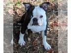 Boston Terrier DOG FOR ADOPTION RGADN-149856 - Jay - Boston Terrier (short coat)