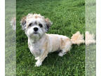 Mal-Shi DOG FOR ADOPTION RGADN-149928 - Dexter-bonded to Norman - Shih Tzu /