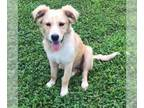 Golden Retriever Mix DOG FOR ADOPTION RGADN-149962 - Valdo Val - Golden