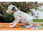 Dalmatian Puppy for sale in Pine City, MN, USA