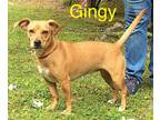 Adopt Gingy a Terrier
