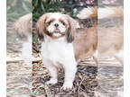 Shih Tzu DOG FOR ADOPTION RGADN-152579 - Boba - Shih Tzu (long coat) Dog For