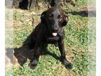 Borador DOG FOR ADOPTION RGADN-156025 - Jonah - Labrador Retriever / Border