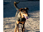 German Shepherd Dog Puppy for sale in Maricopa, AZ, USA