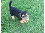 Airedale Terrier Puppy for sale in Mc Bain, MI, USA