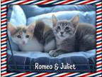 Adopt Romeo and Juliet a Siamese, Dilute Calico