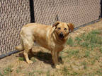 Adopt BROWNIE a Brown/Chocolate Australian Cattle Dog / Border Collie / Mixed