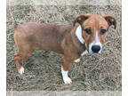 Jack Russell Terrier Mix DOG FOR ADOPTION RGADN-164670 - Calvin - Jack Russell