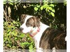 Boxer-Pointer Mix DOG FOR ADOPTION RGADN-173025 - Helen - Boxer / Pointer /