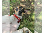 Jack Russell Terrier Mix DOG FOR ADOPTION RGADN-186069 - Zoey DM in MS - Jack