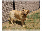 Australian Cattle Dog-Border Collie Mix DOG FOR ADOPTION RGADN-186906 - BROWNIE