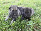 Norwegian Elkhound Puppy for sale in Florence, CO, USA
