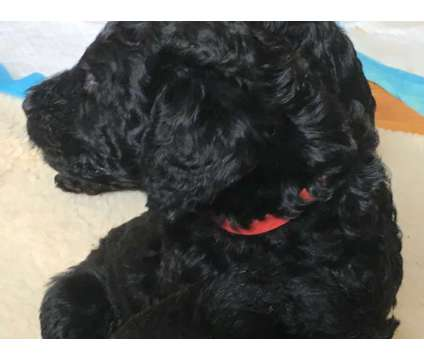 Standard Poodles is a Standard Poodle For Sale in Augusta KS