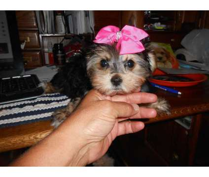 Morkie Female is a Female Puppy For Sale in Spokane WA