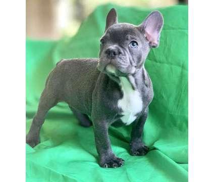 Blue Baby Frenchie Boy is a Blue Male Bulldog, French Bulldog Puppy For Sale in Davie FL
