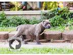 Cane Corso Puppy for sale in Urbana, OH, USA