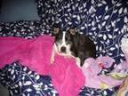 Adopt Lulu Palooza GA a Black - with White Boston Terrier Mixed