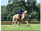 Dazzling Imported Lusitano FEI Dressage Prospect