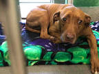 Adopt *HONEY a Red/Golden/Orange/Chestnut Vizsla / Mixed dog in Upper Marlboro